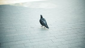 Den mycket smutsiga duvan gör ren fjädrar och går i staden arkivfilmer
