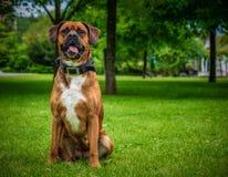 Den nära övre boxarehunden som sitter i en allmänhet, parkerar arkivfoto