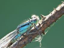Den nära övre makroen sköt av en Damselfly bredvid kanalen, fotoet som togs i UK arkivbilder