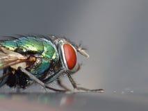 Den nära övre makroen sköt av en spyflugagräsplan/en blått i trädgården, fotoet som togs i Förenade kungariket arkivfoton
