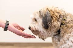 Den nära övre siktsöverkanten av hunden tafsar och den mänskliga handen - kamratskap mellan foten för den stålarrussell terriern  royaltyfri bild