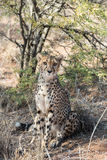 Den nära sikten av en gepard som vilar och borrar på geparder, brukar Royaltyfri Foto