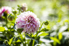 Den nära sikten av en vit rosa färg blommar dahlian Royaltyfri Bild