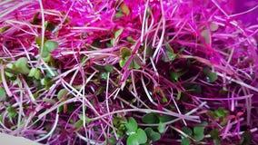 Den näringsrika Microgreen blandningen med växer ljus Arkivfoton