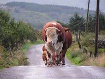den närmande sig tjuren skrämmer att föra royaltyfri fotografi