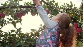 Den nätta lilla flickan väljer en stora röda Apple från ett träd, på en härlig himmelbakgrund på solnedgången stock video
