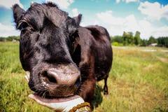 Den nätta lilla kalven som bara står i gräsplan, betar Arkivbild