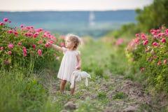 Den nätta lockiga barnflickan går i vårträdgården med blommor för rosa färgblomningrosor, solnedgångtid Arkivfoton