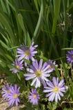 Den nätta purpurfärgade Grecian Balkan anemonen blommar närbild royaltyfria bilder