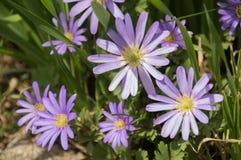 Den nätta purpurfärgade Grecian Balkan anemonen blommar närbild arkivbild