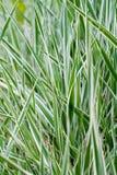 Den naturliga grästexturen Royaltyfri Bild