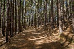 Den naturliga LaEsperanza skogen parkerar, den Tenerife ön Royaltyfri Bild