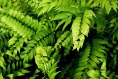 Den naturliga ormbunken lämnar i djungelbakgrund fotografering för bildbyråer
