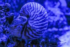 Den NautilusPompilius musslan sitter på en korall royaltyfria foton