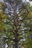 Den nedersta sikten av stammen av ett gammalt sörjer med tjocka filialer fotografering för bildbyråer