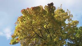Den nedersta sikten på en lönn med gräsplanguling och röda sidor mot bakgrunden av den blåa himlen i solig dag för höst stock video