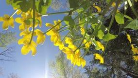 Den nedersta sikten till palustris för Kaluzhnitsa träskCaltha på mot bakgrunden av den sol- himlen för blå sommar arkivfilmer