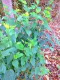 Den nepalesiska mullbärsträdet som är bekant som den vita mullbärsträdet, är snabb-växa som är litet till det medelstora mullbärs Royaltyfri Fotografi