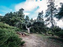 Den Nikitsky botaniska tr?dg?rden, h?rlig gr?splan parkerar med olika tr?d, v?xter och banor f?r att g?, dekorativt arbeta i tr?d royaltyfri foto