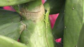 Den nordliga gröna anolen på en kaktus stock video