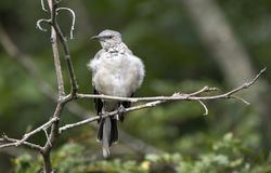 Den nordliga härmfågeln sätta sig på filialen, Walton County, Georgia arkivfoto