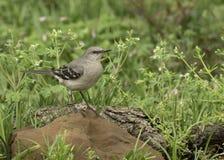 Den nordliga härmfågeln som sitter på, vaggar royaltyfri foto