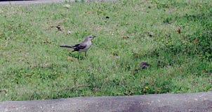 Den nordliga mockingbirdaen bet mer spenslig än en trast arkivfoton