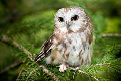 den nordliga owlen såg för att whet fotografering för bildbyråer
