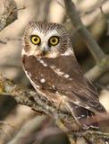 den nordliga owlen såg för att whet Arkivfoto