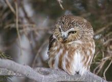 den nordliga owlen såg för att whet Arkivfoton