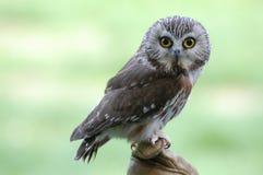 den nordliga owlen såg för att whet Royaltyfri Bild