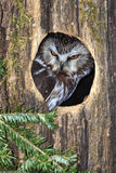 den nordliga owlen såg för att whet Royaltyfri Fotografi