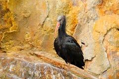 Den nordliga skalliga ibisGeronticus eremitaen, den exotiska fågeln i naturlivsmiljön, fågel vaggar in och att sitta på stenen Ma Royaltyfria Bilder