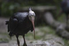 Den nordliga skalliga ibits, enslingibis eller waldrapp (Geronticus ere Royaltyfri Fotografi