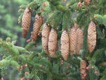 Den Norge granen (piceaen abies) - sörja kottar royaltyfria bilder