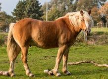 Den norska hästen betar på royaltyfria bilder