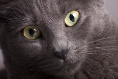 Den nära ståenden av en grå kvinnlig kattguling synar Arkivfoto