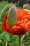 Den nya blommande röda vallmoblomman ut slår ut casings royaltyfri bild