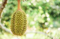 Den nya durianen på trädet, Durians är konungen av frukter och kan vara Royaltyfria Bilder
