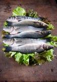 Den nya seabassen ordnar till för att laga mat Royaltyfri Foto