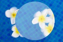 Den nya frangipanien blommar på blått vatten vektor illustrationer