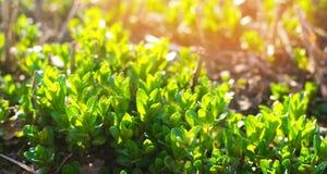 Den nya gröna unga mintkaramellen i trädgården, mintkaramell spirar närbild Grön buske solig dag arkivbilder