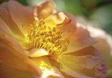 Den nya orange vandraren steg växa i trädgården Arkivfoton