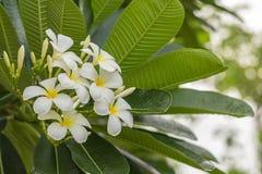 Den nya Plumeriablomman, vitgulingblomma blommar högt fragran royaltyfria bilder