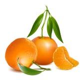 Den nya tangerin bär frukt med gröna sidor Arkivbilder