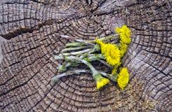 Den nya tussilagoläkarundersökningen blommar på gammal träbakgrund arkivbilder
