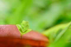 Den nya växten växer upp till och med hålet av det vissna bladet Arkivfoton