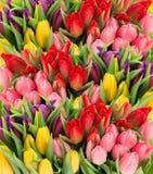 Den nya vårtulpan blommar med vattendroppar arkivbilder