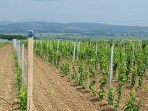 Den nya vingården landskap i bakgrunden Arkivbilder