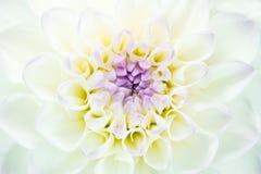 Den nya vita dahlian med guling och lilor centrerar Royaltyfri Fotografi